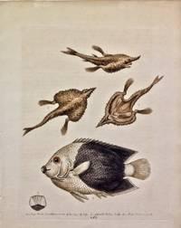 Pl 283 Sea Bat & The Pyed Acarauana