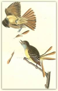Pl. 57 Great Crested Flycatcher  The Birds of America,