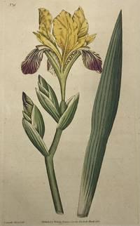 Iris Variegata; N. 16