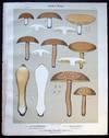 View Image 1 of 2 for Original Color Lithograph Plate 66 Boletus Brevipes & Boletus Affinis & Clavaria Pistillaris Umbonat... Inventory #26113