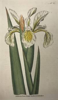Iris Ochroleuca; N. 61