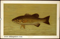 The Small-Mouthed Black Bass. Micropterus dolomieu