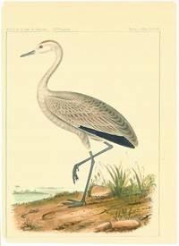 Grus Fraterculus, Cassin. Little Crane.
