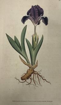 Iris Pumila; N. 9