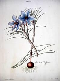 HORTUS NITIDISSIMIS ... : Crocus I; The True Saffron (print)