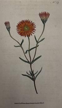 Marigold; N. 59