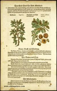 Quercus. Gallae, & flores quercus