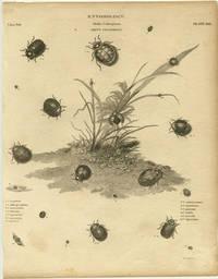 Entomology.  Order Coleoptera. Genus Coccinella