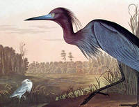 Blue Crane or Heron. From The Birds of America (Amsterdam Edition)