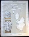 View Image 1 of 2 for Original Color Lithograph Plate 67 Hydnum Albidum & Hydnum Capt-Ursi Inventory #26114