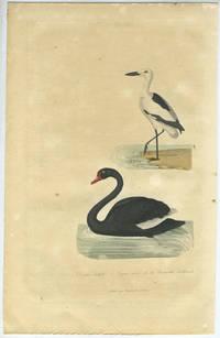 Cygne noir de la Nouvelle hollande (Black Swan) & Drome Ardeole (Crab Plover).  Hand colored engraving