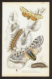 1. Spilosoma acrea  2. Cater. of do.  3. Chrysalis of do  4. Arctia Oculatissima