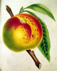 image of THE FRUITS AND FRUIT TREES OF AMERICA; OR, THE CULTURE, PROPAGATION, AND MANAGEMENT, IN THE GARDEN AND ORCHARD, OF FRUIT TREES GENERALLY; WITH DESCRIPTIONS OF ALL THE FINEST VARIETIES OF FRUIT, NATIVE AND FOREIGN, CULTIVATED IN THIS COUNTRY
