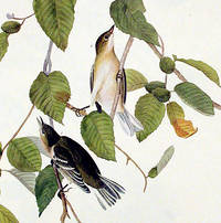 Autumnal Warbler. From The Birds of America (Amsterdam Edition)
