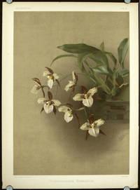 Odontoglossum Humeanum
