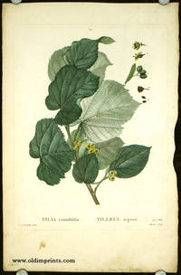 Tilia rotundifolia. Tilleul argente. by  P.J.  (illus).  Mlle. Moret (engraved by) LINDEN) Redoute - Ca. 1801- 1819. - from oldimprints.com and Biblio.com