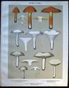 View Image 1 of 2 for Original Color Lithograph Plate 52 Hygrophorus Puniceus & Hygrophorus Virgineus & Boletinus Grisellu... Inventory #26099