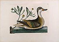 Anas Bahamensis [White-Cheeked Pintail]