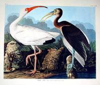 """White Ibis. From """"The Birds of America"""" (Amsterdam Edition)"""