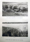 View Image 8 of 8 for The Structure and History of Plav: The Floating Fen of the Delta of the Danube. By Marietta Pallis Inventory #26968