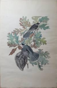 Canada Jay (Elephant folio Plate CVII) Gray Jay, Perisoreus canadensis on  Quercus alba, White Oak.