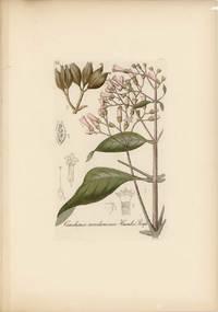 [GROUP OF FOUR BOTANICAL ENGRAVINGS]   Arum maculatum Lin.  Cinchona condaminea Humb.et Bonpl.  Convolvulus scammonia Lin.  Githago segetum Desf.