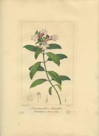Prostranthera lasianthos. Prostranthera a fleurs velues.