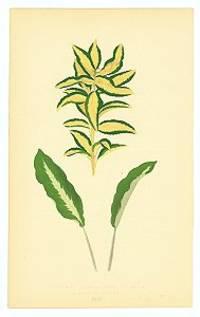 Euonymus Japonica Aurea Variegata.  Maranta Micans