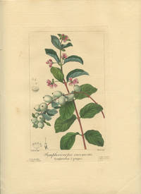 Symphoricarpos racemosus. Symphoricarpe a grappes.