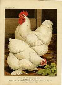 Mr. Julius Sichel's White Cochins. Champion and Queen. Winners of 1st & 2nd at Birmingham, & 1st at Manchester 1871, Cup at Dublin 1872 and About 50 Other Prizes