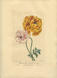 Ranunculus Asiaticus, Var. Renoneule Asiatique.