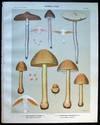 View Image 1 of 2 for Original Color Lithograph Plate 58 Cortinarius Evernius & Cortinarius Corrugatus Inventory #26105