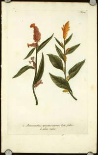 a. Amaranthus spicatus aureus lati folius. b. idem ruber