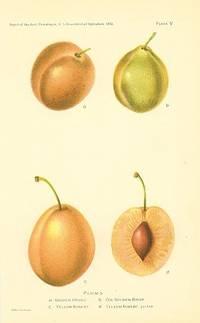 Plums.  a - Golden Prune b - Coe Golden Drop c - Yellow Aubert d - Yellow Aubert, section
