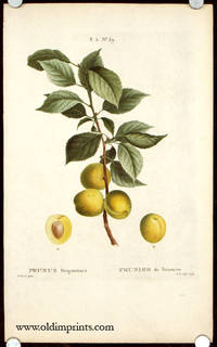 Prunus Brigantiaca. Prunier de Briancon. by  P.  (illus).  J. N. Joly (engraved by) PLUMS) Bessa - Ca. 1801- 1819. - from oldimprints.com and Biblio.com
