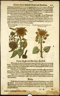 Flos Solis Peruuianus. Chrysanthemum Peruuianum, fiue Flos Solis proliser