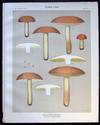 View Image 1 of 2 for Original Color Lithograph Plate 64 Boletus Subclabpripes Inventory #26111
