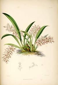 A Monograph of Odontoglossum.