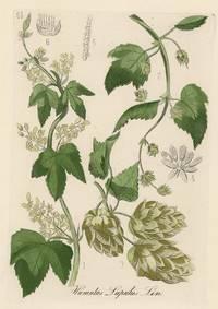 Humulus Lupulus Lin. [Hop Plant].