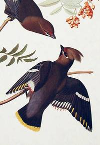 Bohemian Chatterer. From The Birds of America (Amsterdam Edition)