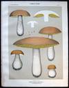 View Image 1 of 2 for Original Color Lithograph Plate 65 Boletus Edulis Calvipes Inventory #26112