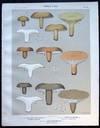 View Image 1 of 2 for Original Color Lithograph Plate 53 Lactarius Chelidonium & Lactarius Distans & Lactarius Gerardii Inventory #26100