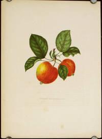 Pomme Marguerite.