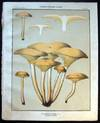View Image 1 of 2 for Original Color Lithograph Plate 68 Unwholesome Fungi Clitocybe Illudens Inventory #26115