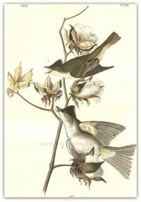 Pl. 63 Pewee Flycatcher, Cotton Plant; Gossypium Herbaceum  The Birds of America,