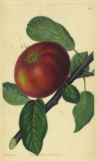 An Apple Print from the Pomological Magazine