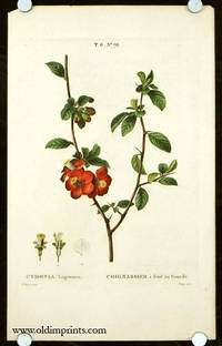 Cydonia Lagenaria. Coignassier a fruit en Gourde