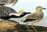 Black-bellied Plover. From The Birds of America (Amsterdam Edition)