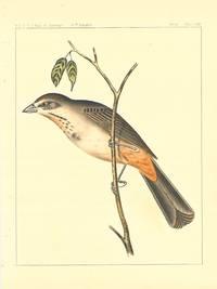 Pipilo Mesoleucus, Baird.