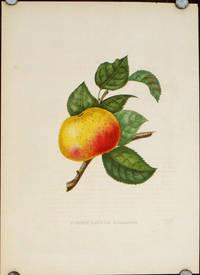 Pomme Rose De Hollande.